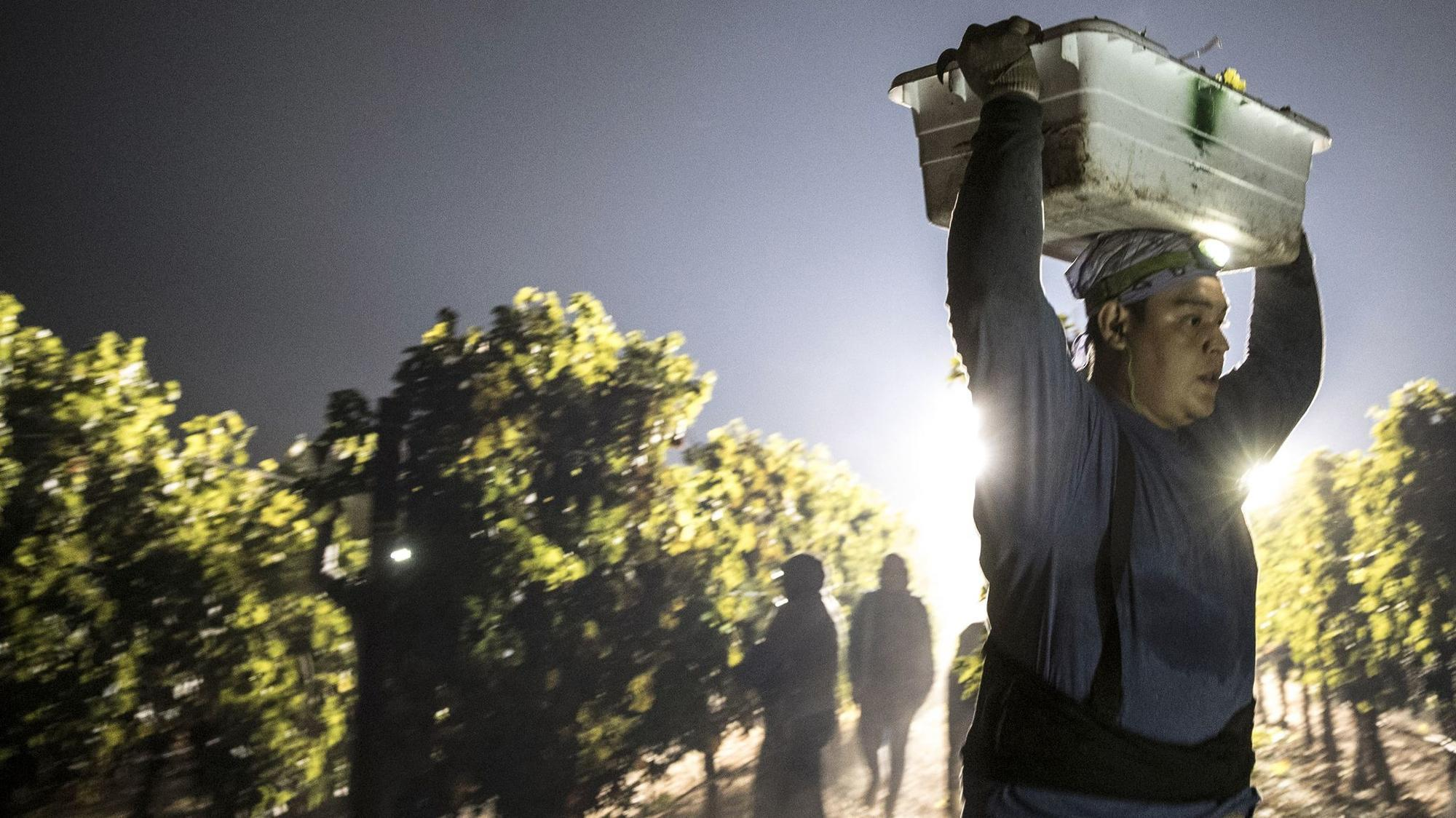 At Napa vineyards untouched by wildfires, the grapes must still be picked