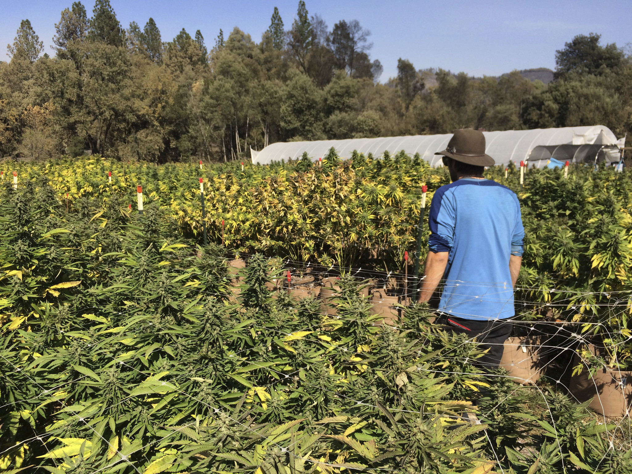 up in smoke wildfires scorch california pot crop at harvest