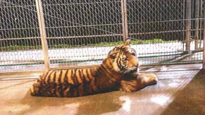 Maverick, the tiger, photographed at an animal sanctuary in 2014.