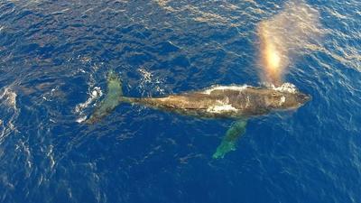 In una foto scattata da un drone esagonale DJI Phantom 4, una balena di ginocchia supera ed esalta un rainbo