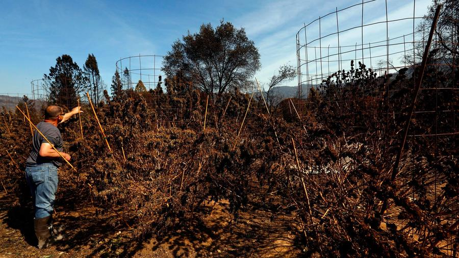 A Redwood Valley resident looks at his neighbor's marijuana grow that was destroyed in the Redwood Valley fire. — Photograph: Genaro Molina/Los Angeles Times.
