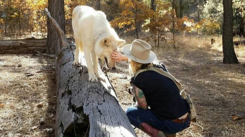 Try a 90-minute hike with a wolf through conservation company Project Wildsong.
