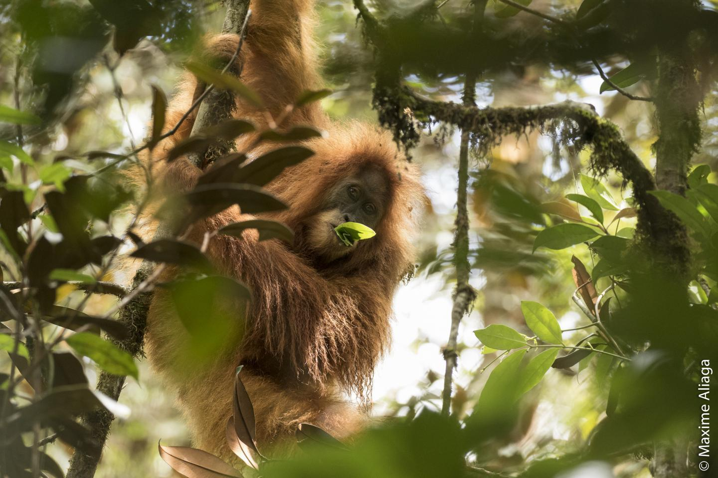 Experts estimate that there are fewer than 800 Tapanuli orangutans left in the world, making their prospects for survival unclear.