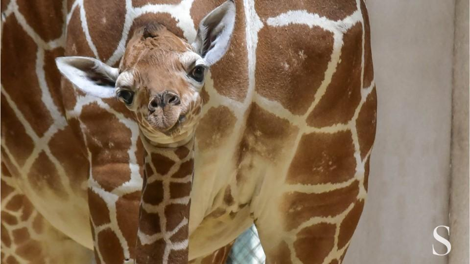 The short life of Julius, Baltimore zoo's giraffe, yields lessons that could help others
