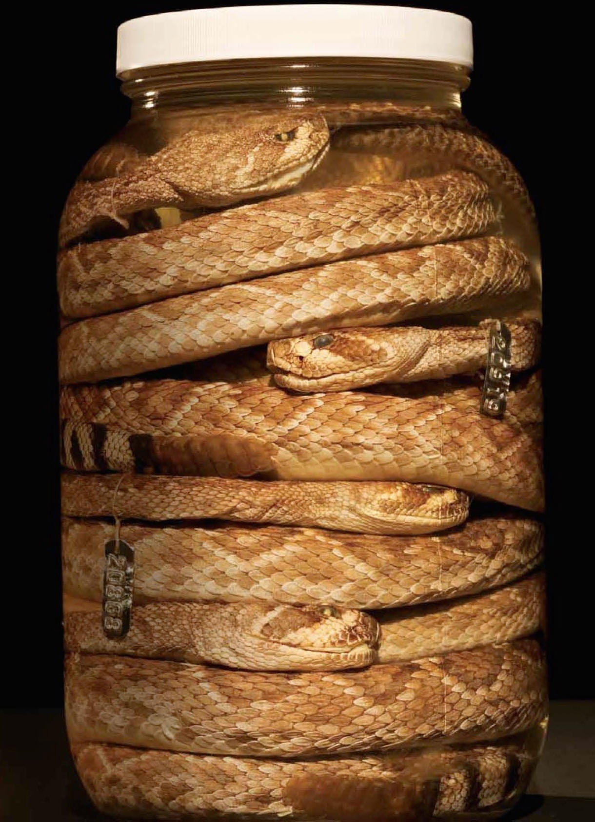 A jar of rattlesnakes from The Nat's Herpetology Department. The Nat has the world's largest collection of rattlesnakes, with more than 40,000 preserved specimens.