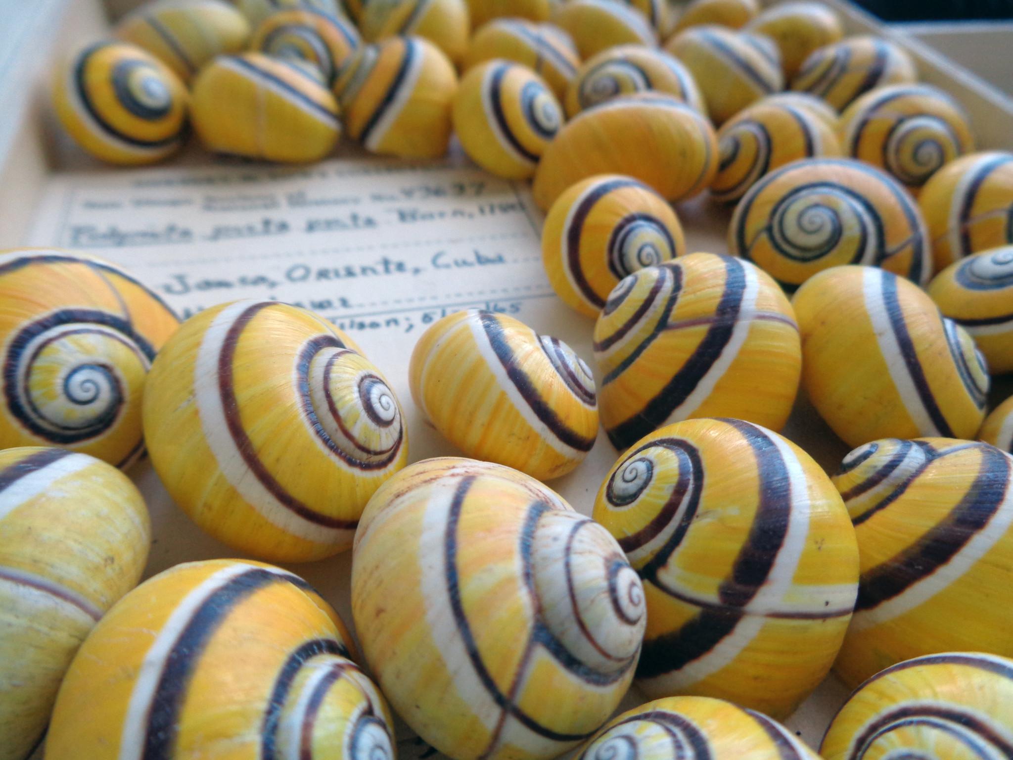Stunning Polymita picta picta shells from Cuba.