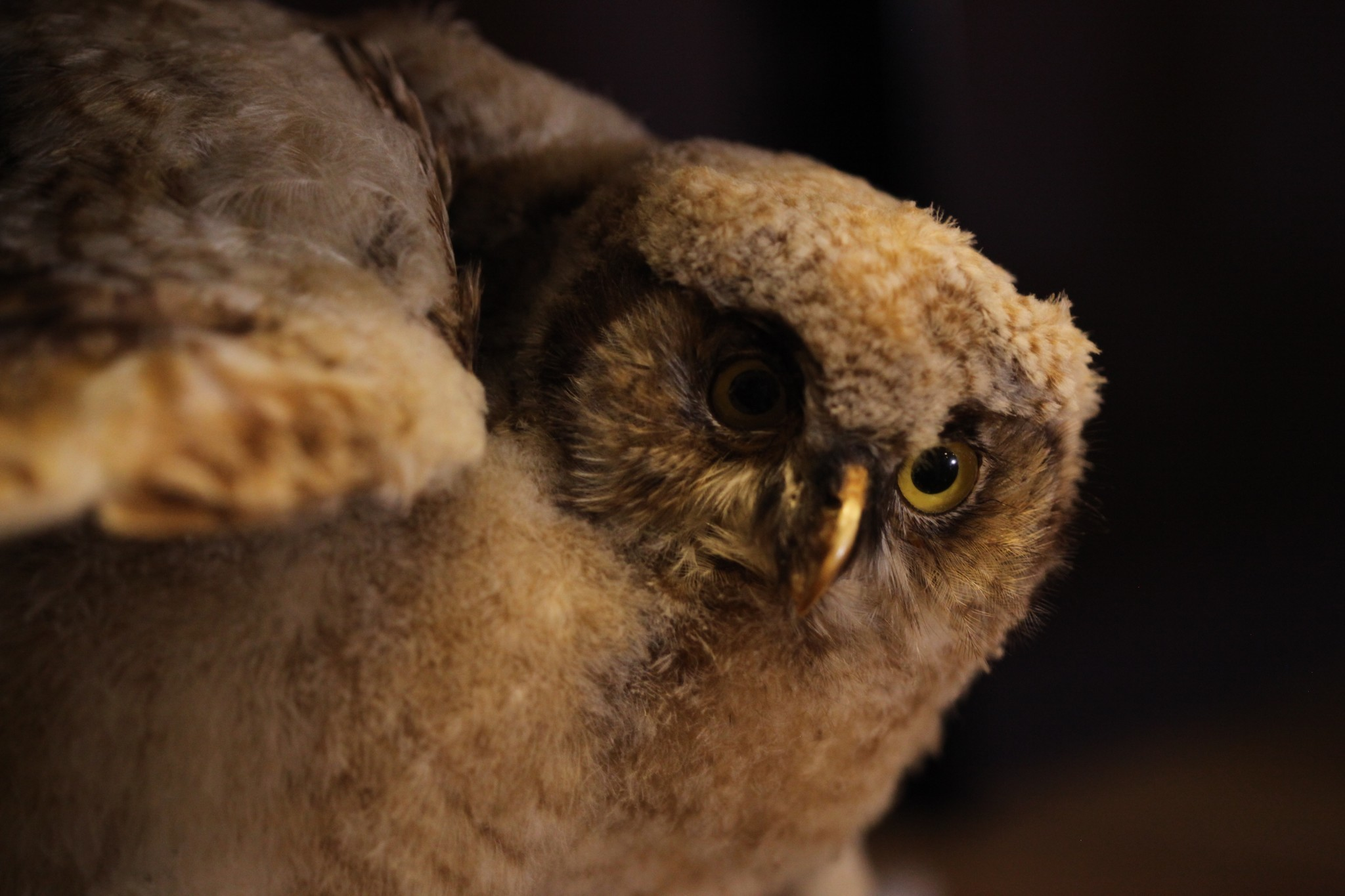 A taxidermy owl peers across the room as if looking for prey in the wild.