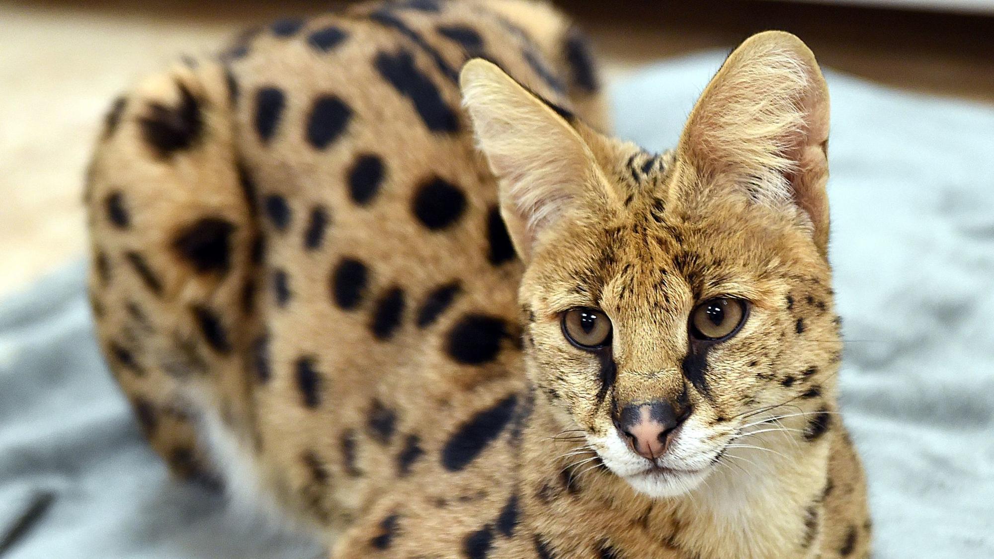 Savannah Cat Rescue In Pa