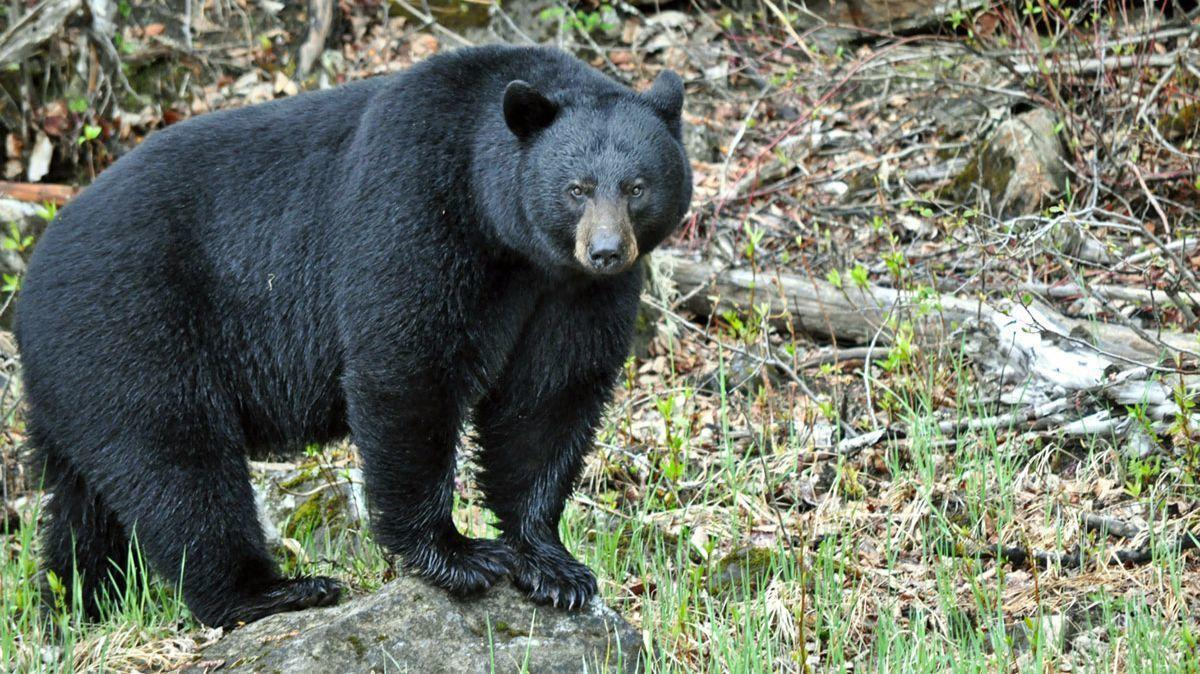 Pennsylvania archery hunter harvests 500 pound bear the morning call publicscrutiny Choice Image