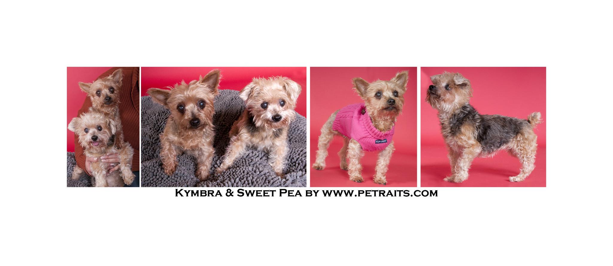 Chicago Il Adopt Sweet Senior Yorkies Kymbra And Sweet Pea