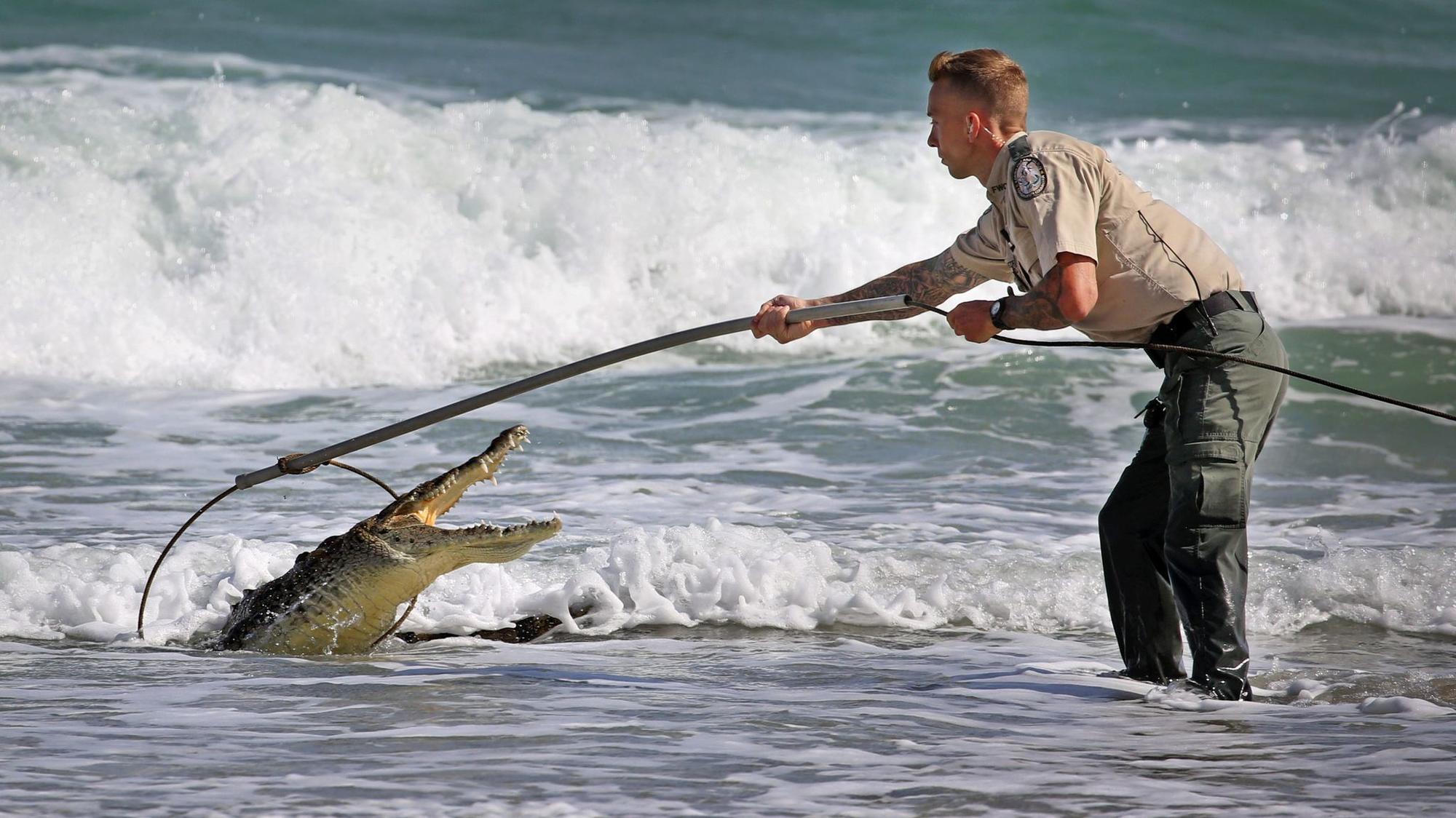 Crocodile caught on hollywood beach sun sentinel for Hollywood florida fishing