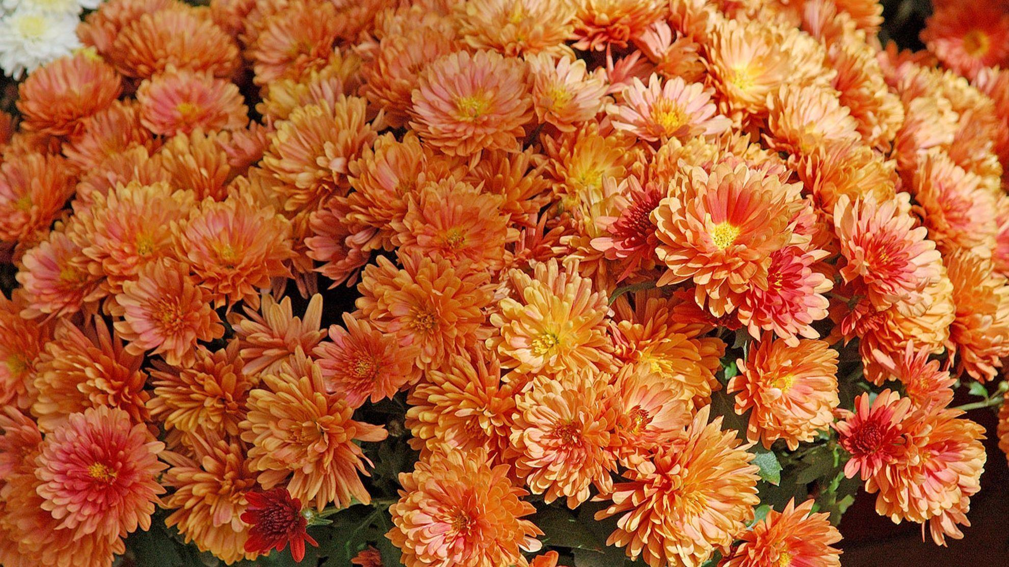 How to keep chrysanthemum