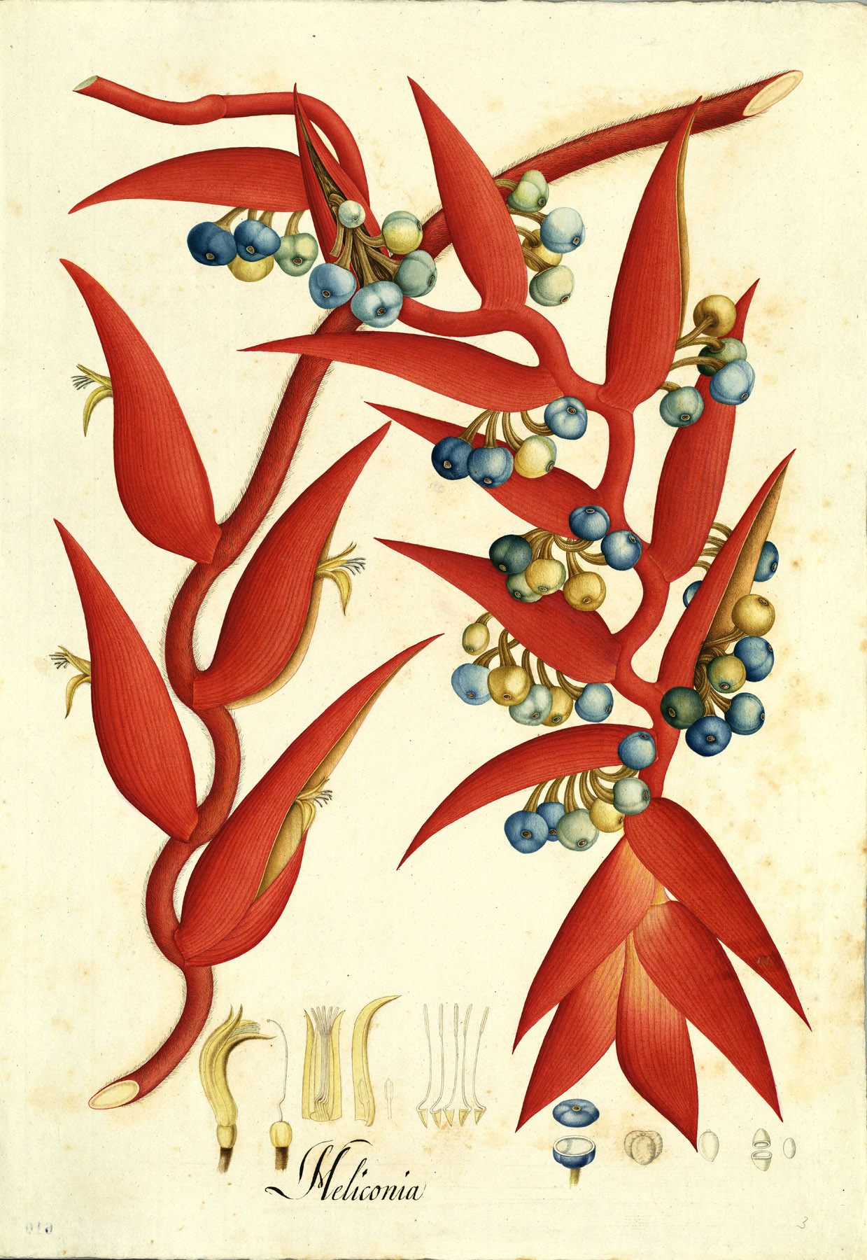 Heliconia drawing from the Royal Botanical Expedition of José Celestino Mutis