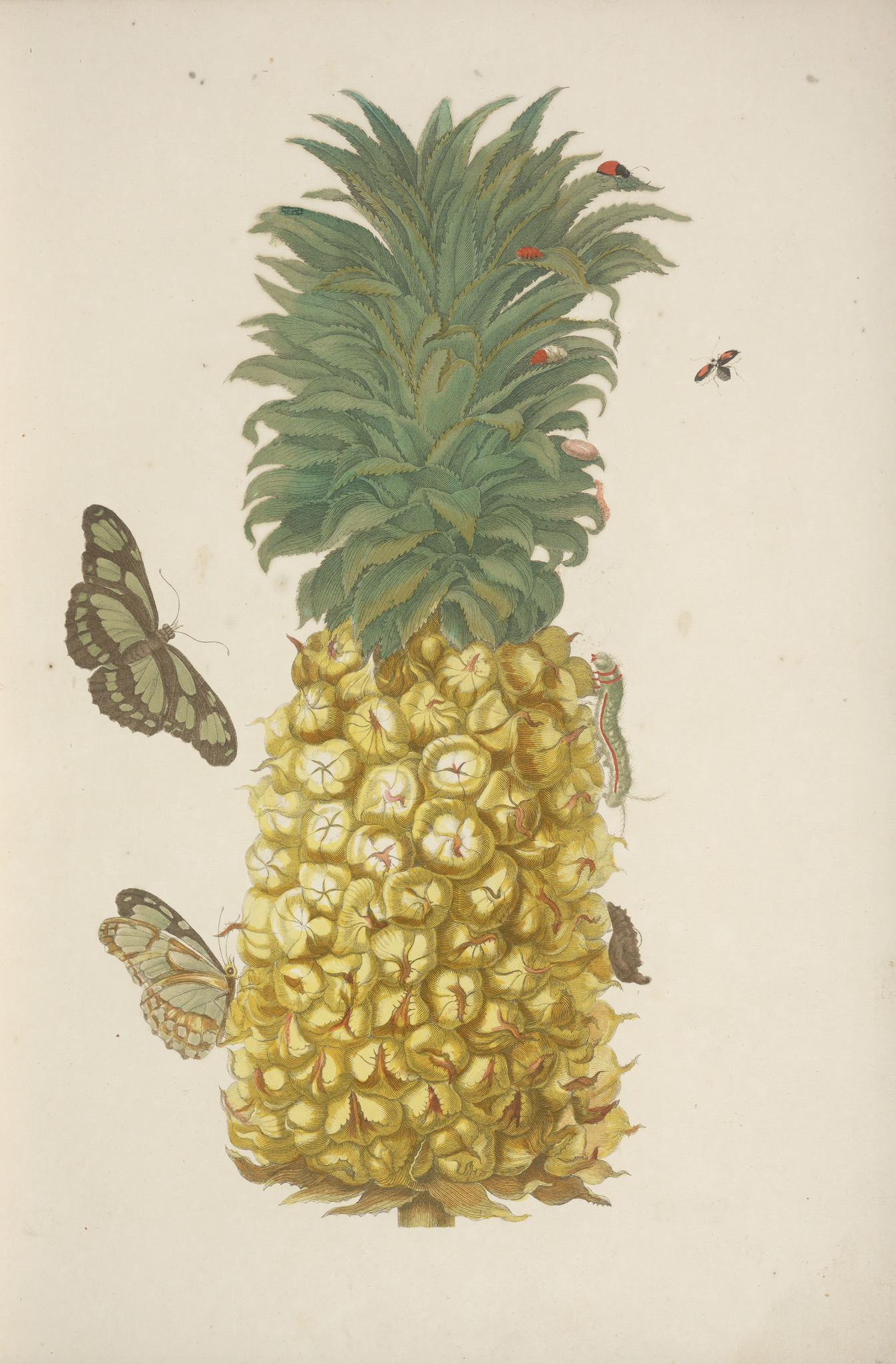 Maria Sibylla Merian pineapple