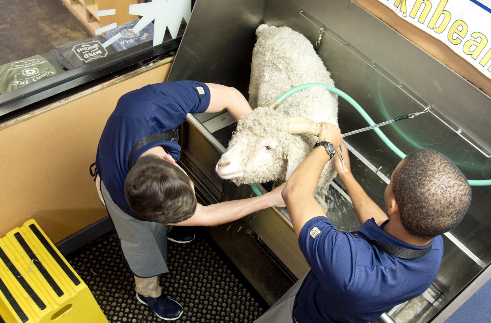 Navy goats get baths