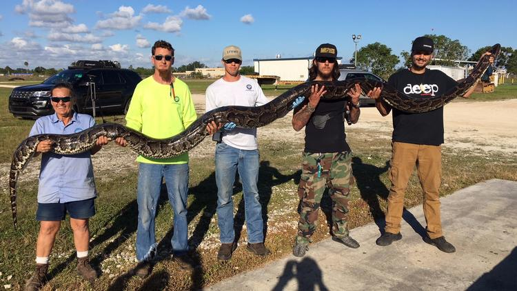 Python caught in Everglades