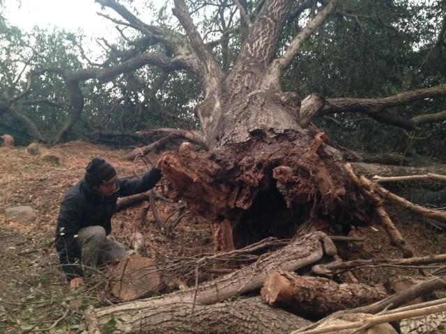 Juan Hernandez, 32, inspects one of many oak trees toppled by fierce winds in Ojai. (Louis Sahagun)