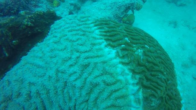 A diseased coral in the Keys