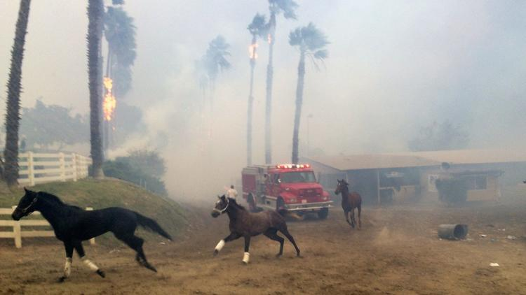 Terrified horses gallop from San Luis Rey Downs as the Lilac fire swept through the horse-training facility Thursday. (Paul Sisson / San Diego Union-Tribune)