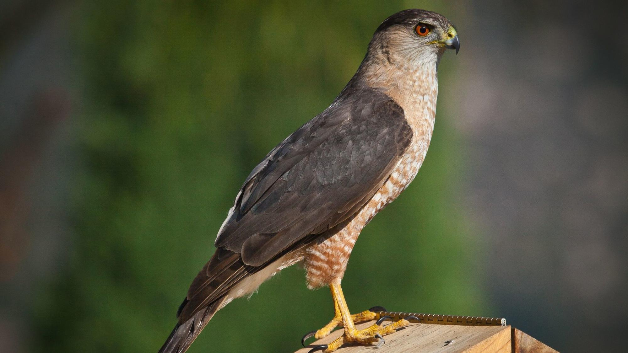 On The Avian Food Chain Cooper S Hawks Hover High The
