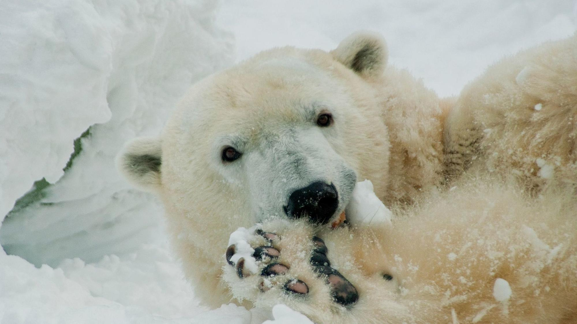 Oldest Polar Bear In Us Celebrates 37th Birthday At
