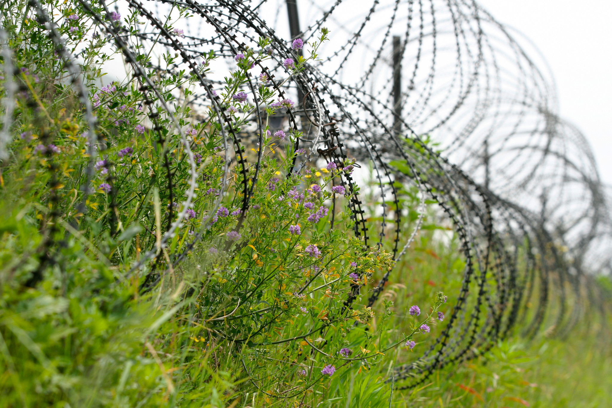 Wildflowers grow on the barbed wire on the southern edge of the Demilitarized Zone.