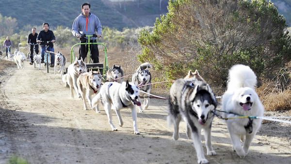 No snow? No problem. Urban Mushing's dog owners glide over dry land | The Los Angeles Times