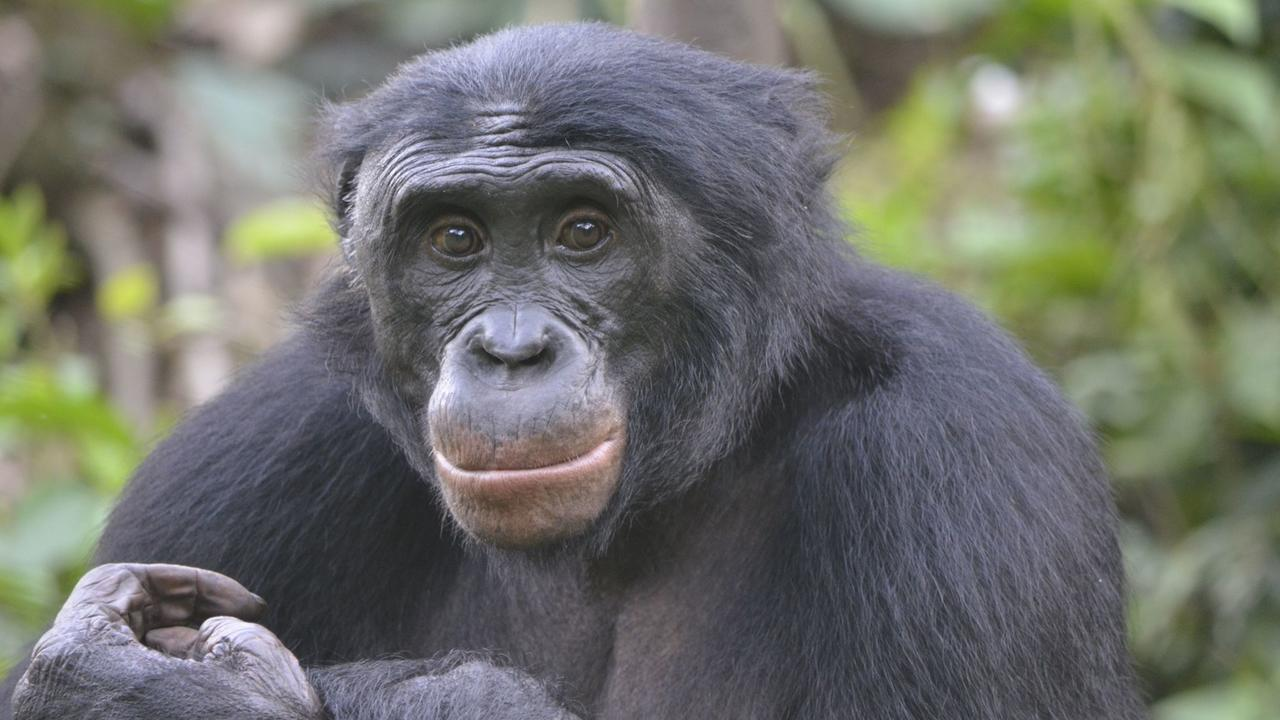 Humans may look for the helpers, but bonobos prefer the troublemakers