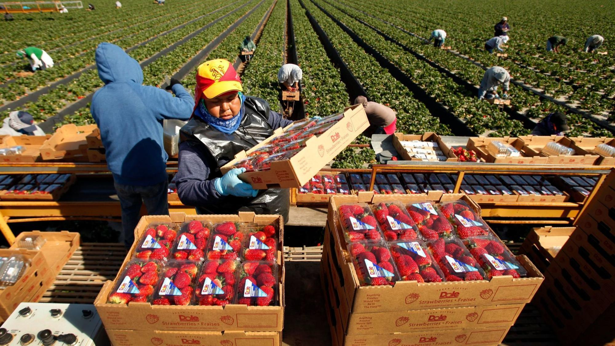 Bad start to the year for berry farms as more layoffs hit
