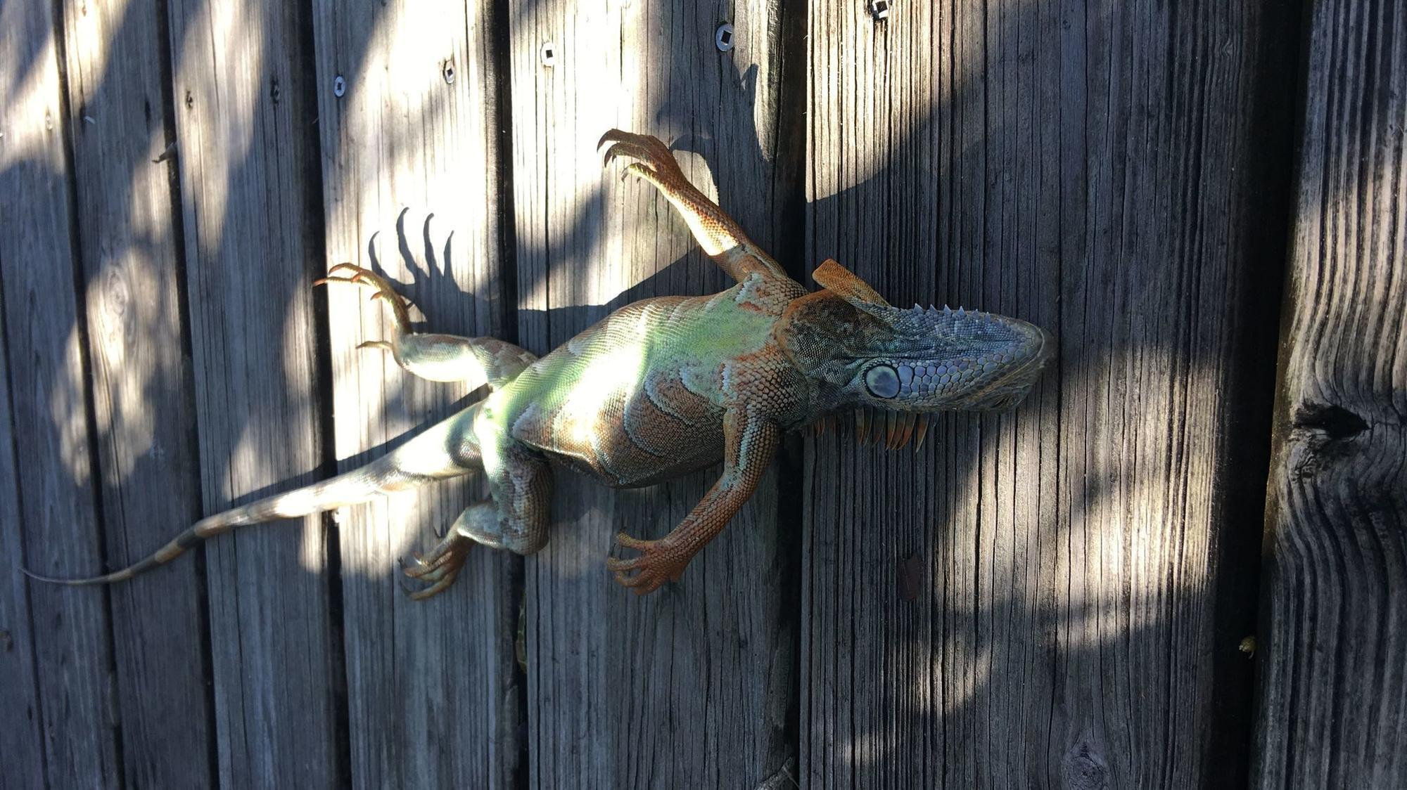 It's so cold, stiff iguanas are turning belly-up all over ...