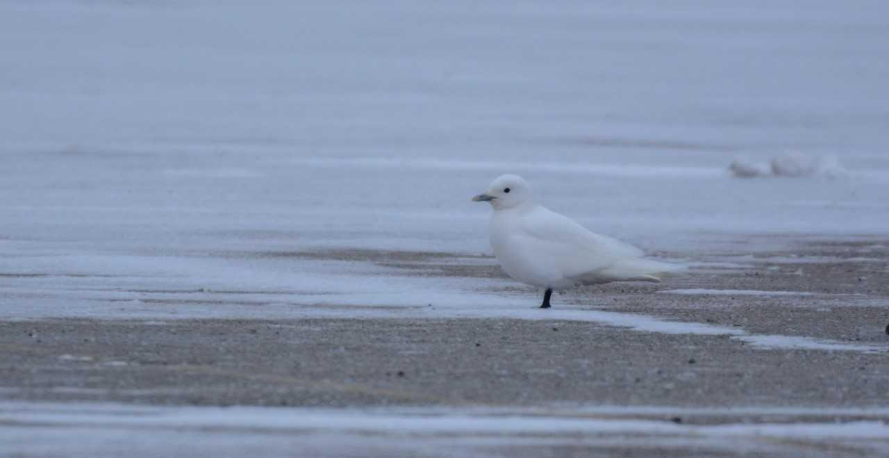 'One of the holy grails': Rare ivory gull from Arctic visits Lake County Fairgrounds parking lot