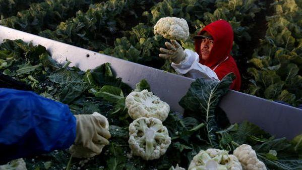 California fields boast a booming crop of guest workers