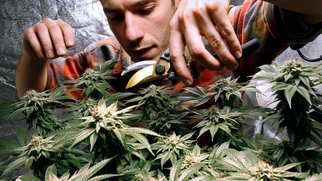 James MacWilliams prunes a marijuana plant that he is growing indoors in Portland, Maine. (Robert F. Bukaty / Associated Press)