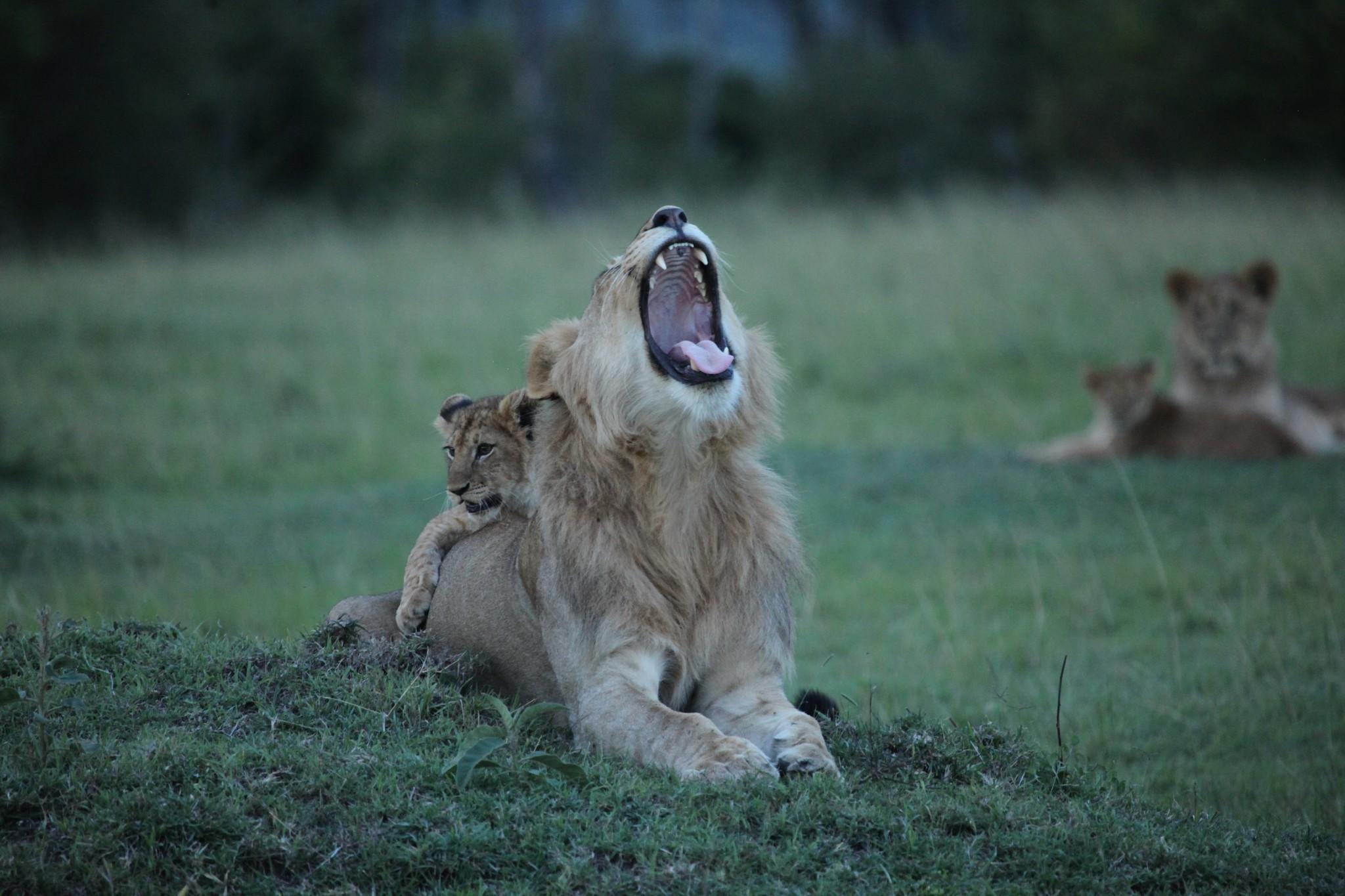 Lions in Maasai Mara National Reserve