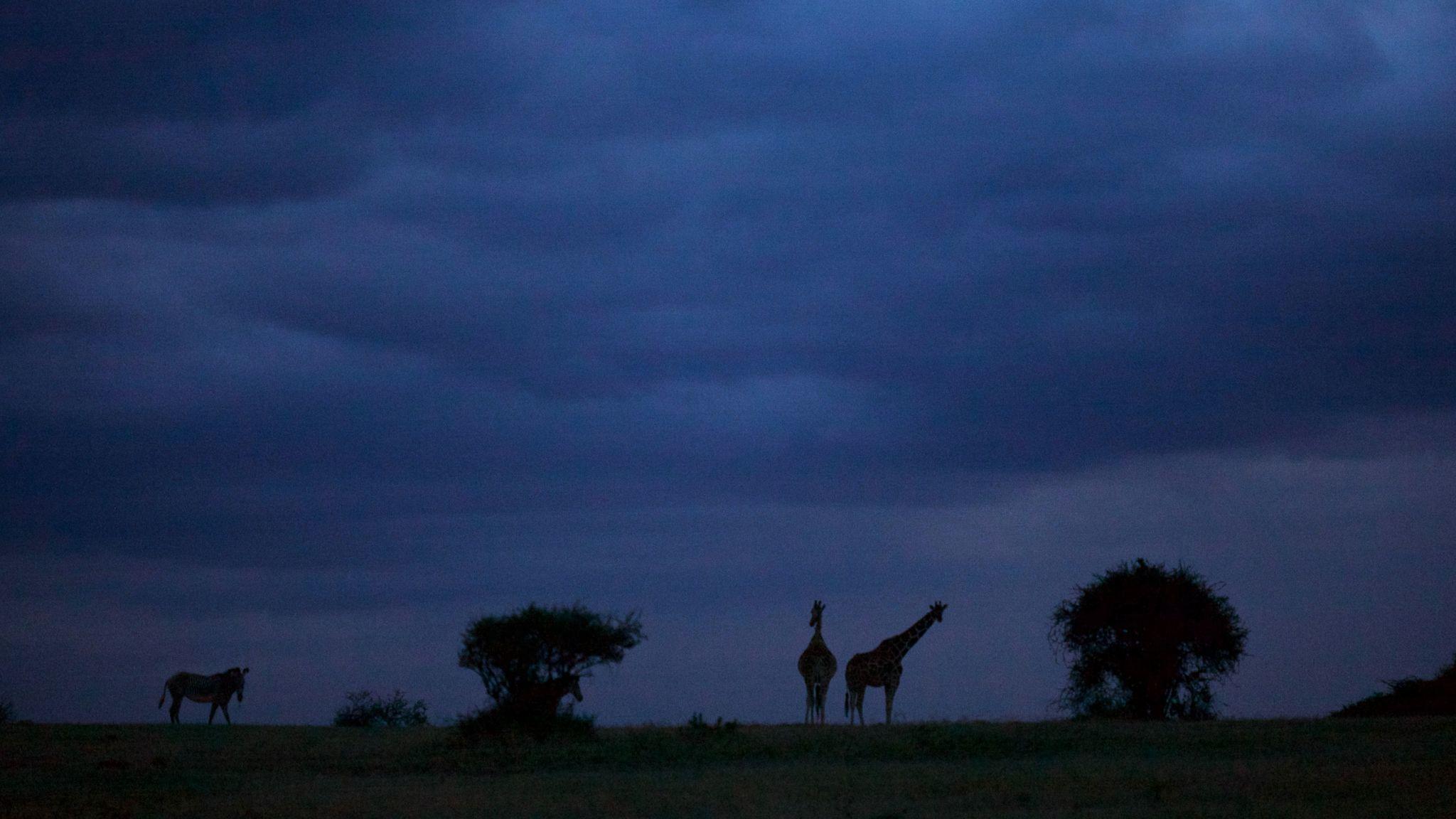 Giraffes and zebra