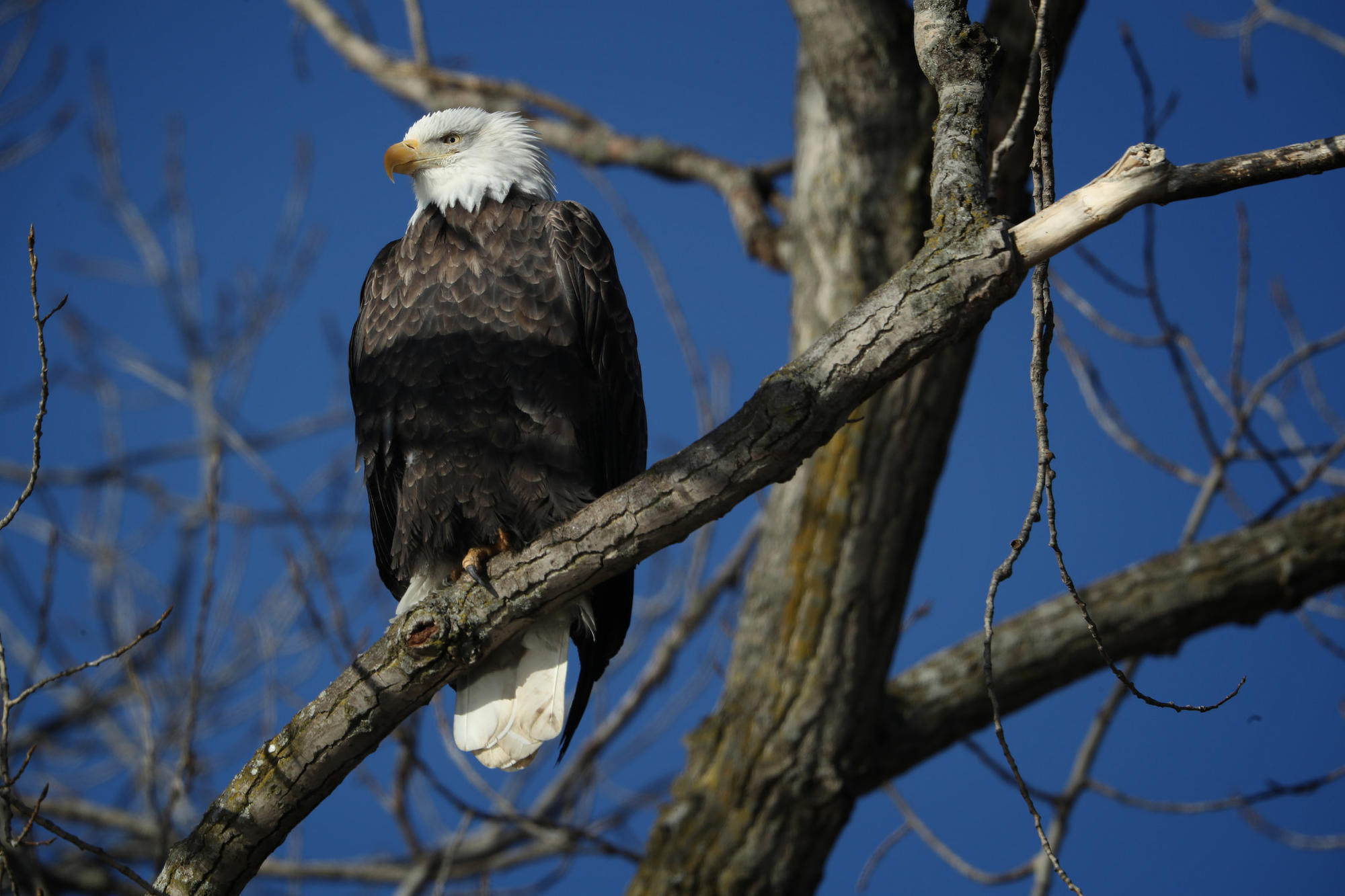 Bald eagles came back from brink but are numbers dropping again bald eagles came back from brink but are numbers dropping again an illinois researcher fears so chicago tribune biocorpaavc