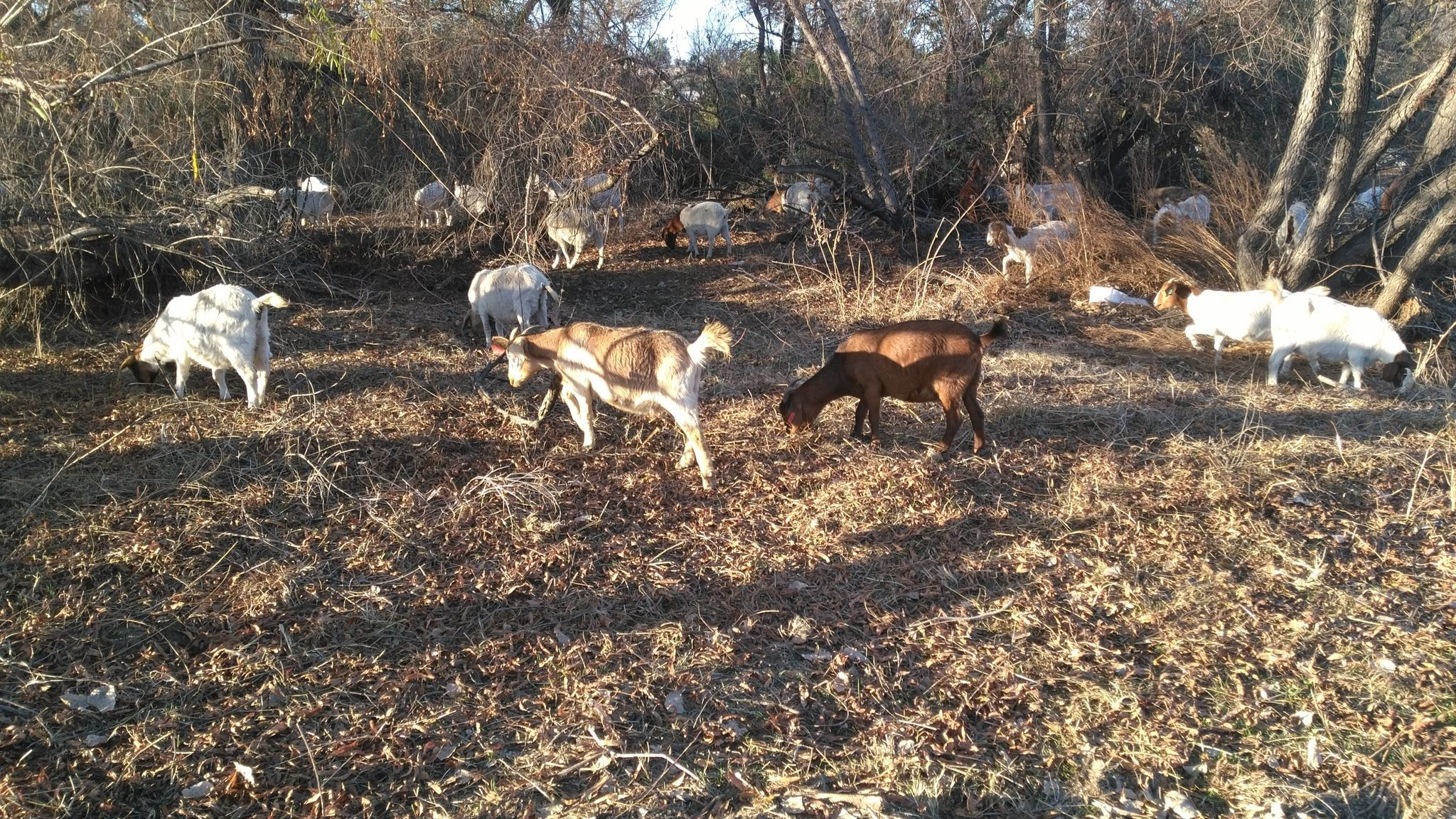 Goats at the Seventh Street bridge in Ramona are helping to clear out the Santa Maria Creek by eating overgrown plants.