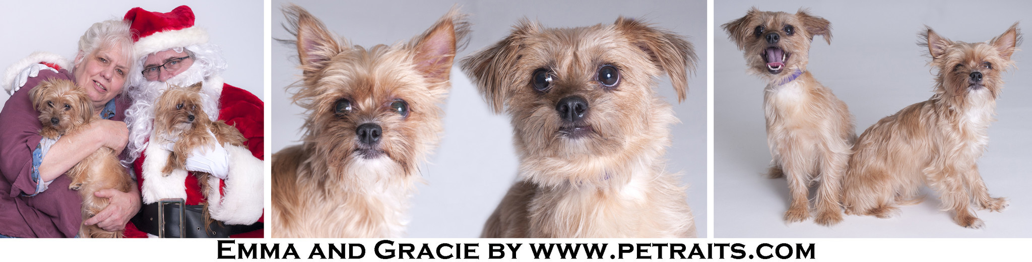Chicago Il Adopt Yorkie Mix Sisters Emma And Gracie Chicago Tribune