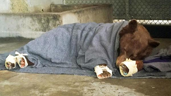 Bears burned in Thomas fire sent back into the wild after rehab