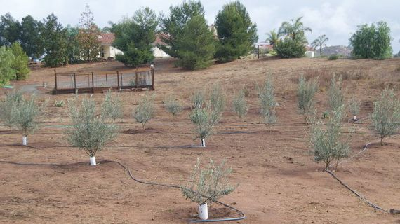 Yigal Ben-Aderet began planting these Picual olive trees at his NES Olive Farm after the Witch Creek fire.