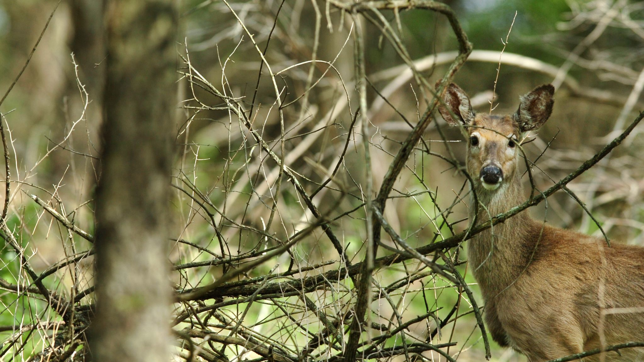 LOCAL - SCHNECKSVILLE - A white tail deer pauses as it feeds in the woods at the Trexler Game Pres