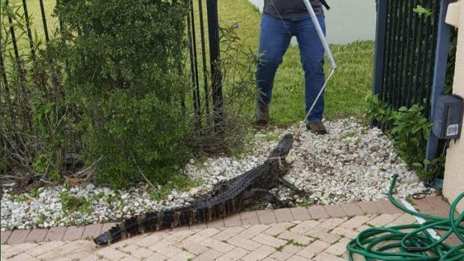 Trappers Remove Alligator From Swimming Pool In Lake Nona Area Sun Sentinel