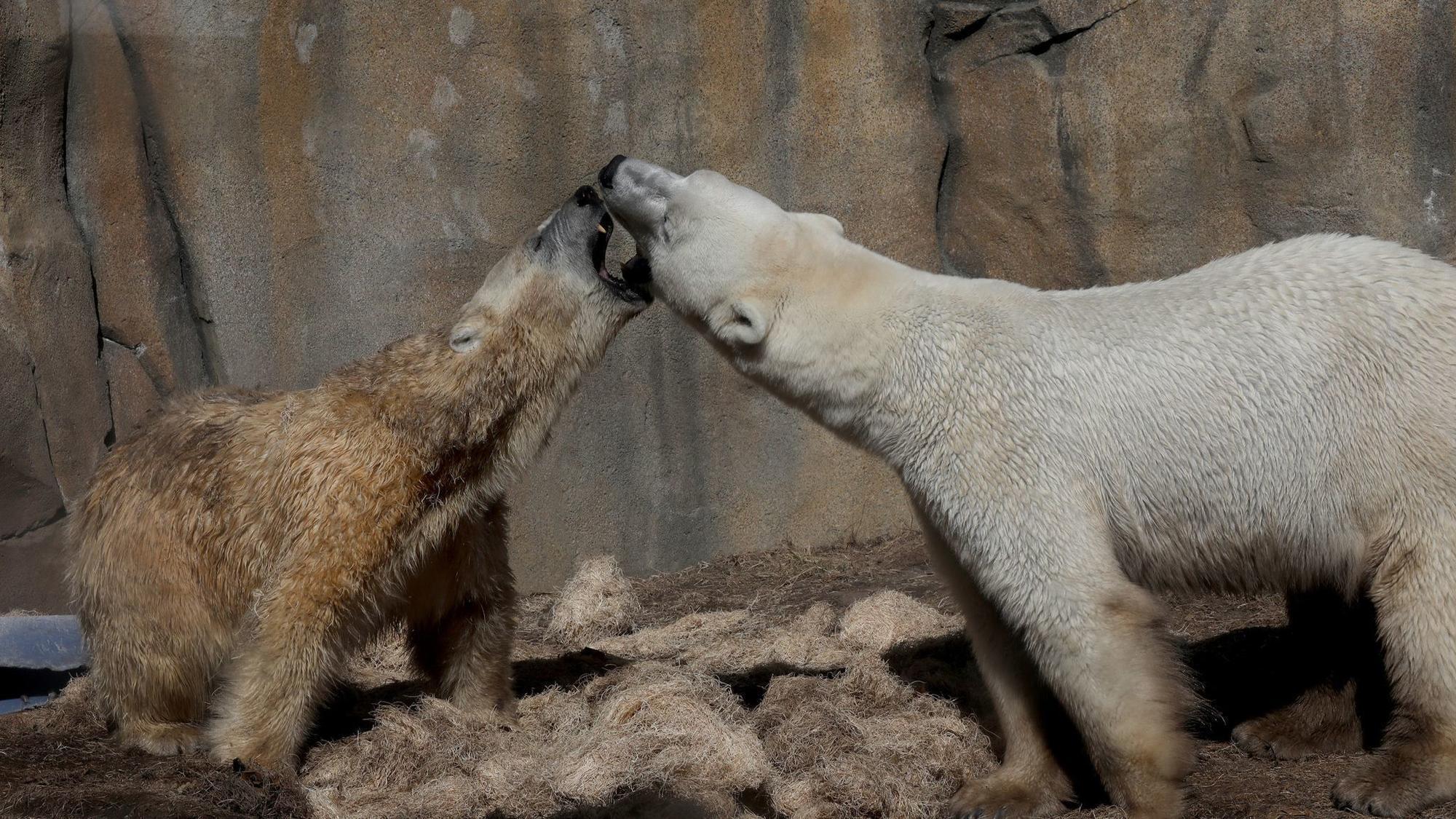 New Female Polar Bear At Lincoln Park Zoo Has Its Mate
