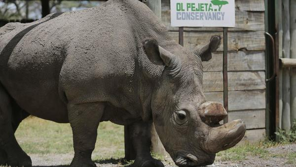 World's last male northern white rhino dies; S.D. Zoo trying to save subspecies | San Diego Union Tribune