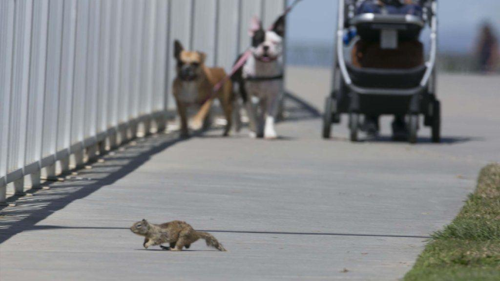 Squirrels overrunning cities lose fear of people