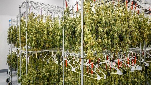 Medical Marijuana's Success In Connecticut Brings Renewed Calls For More Growers | Hartford Courant