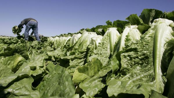 Romaine lettuce E. coli contamination warning widened