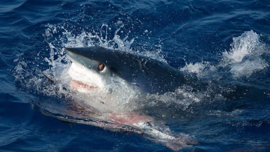 Shore shark fishing could face new state rules orlando for Shark fishing from shore