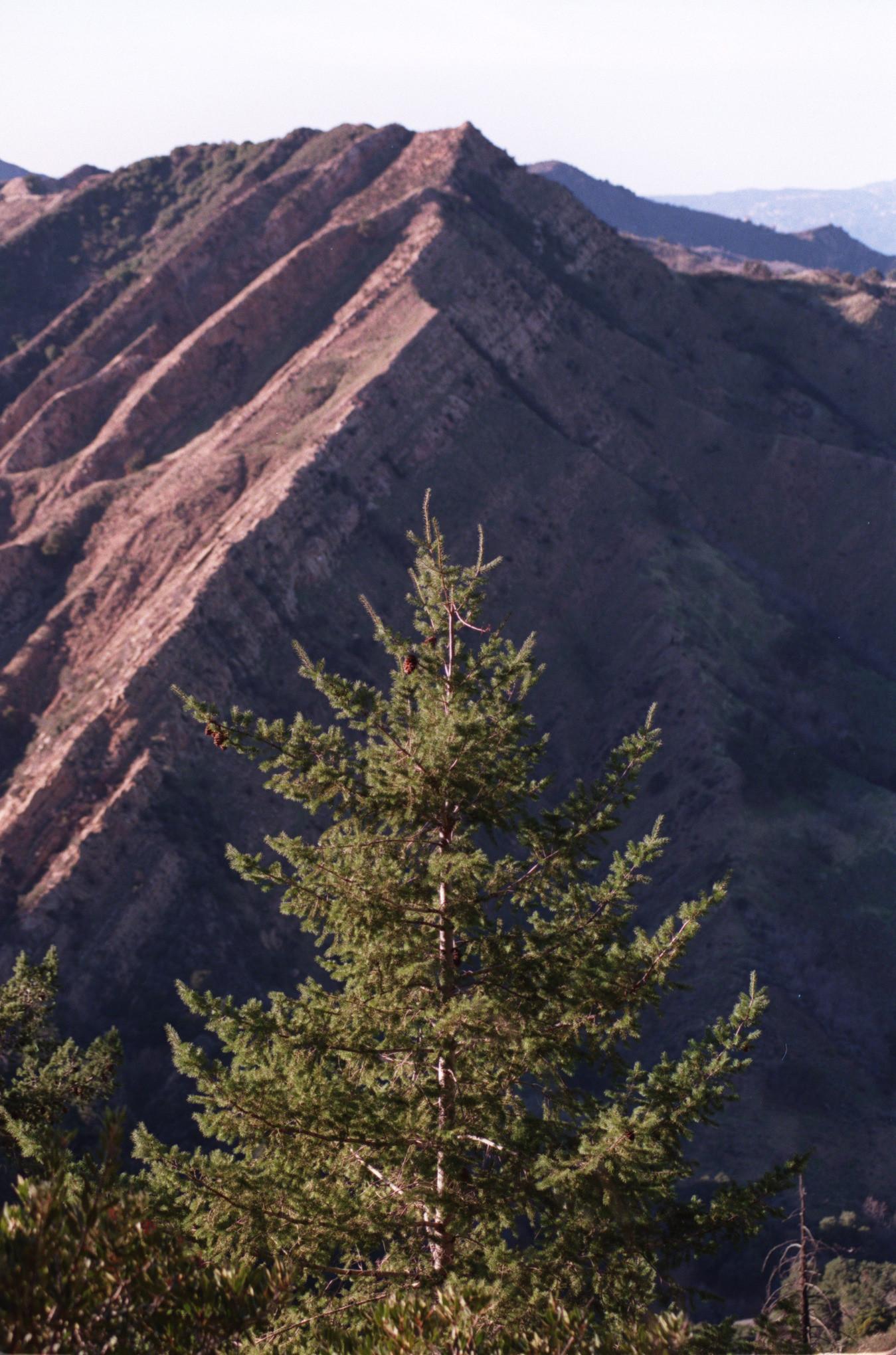 Big cone Douglas fir