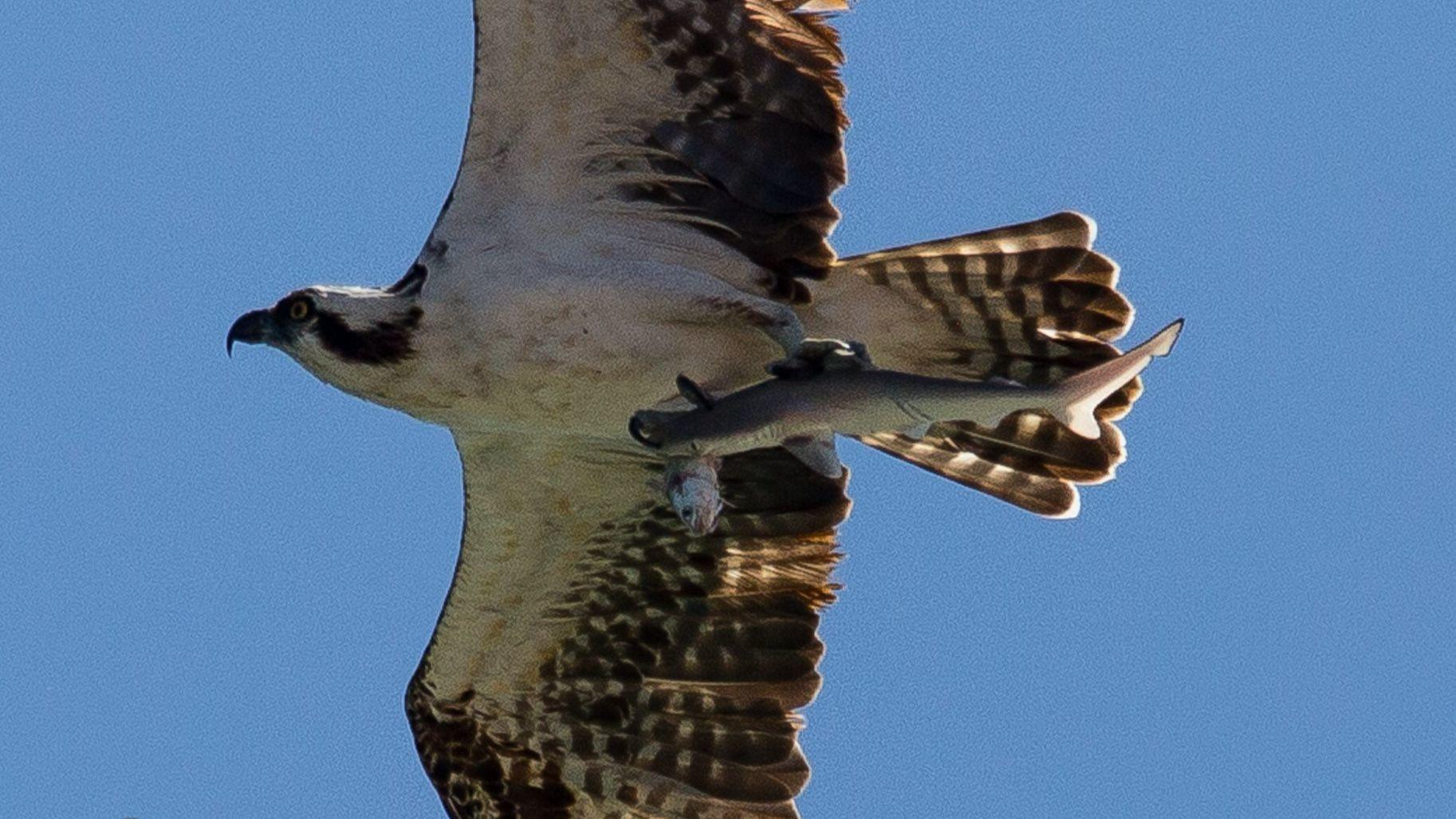 Photographer captures one in a trillion image of bird carrying a photographer captures one in a trillion image of bird carrying a shark carrying a fish sun sentinel thecheapjerseys Choice Image